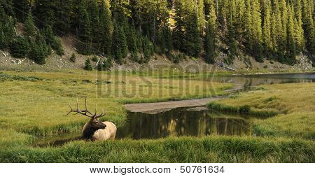 Elk In Colorado