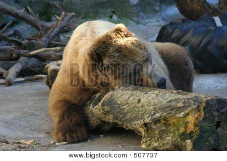 Bär Nap
