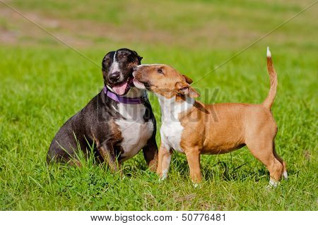 two english bull terrier dogs playing outdoors