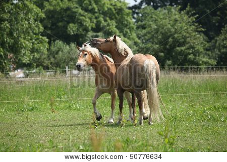 Two Haflingers Playing On Pasturage