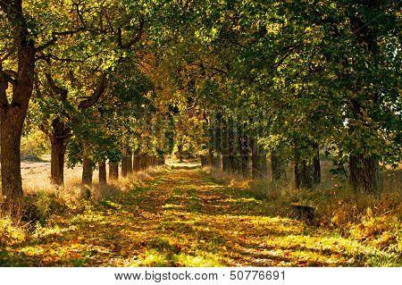 Maple Avenue In Autumn