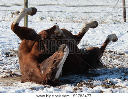 Horse rolling in the snow