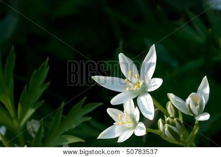 Ornithogalum Umbellatum (Star-of-bethlehem, Grass Lily, Nap-at-noon, Eleven-o'clock Lady)
