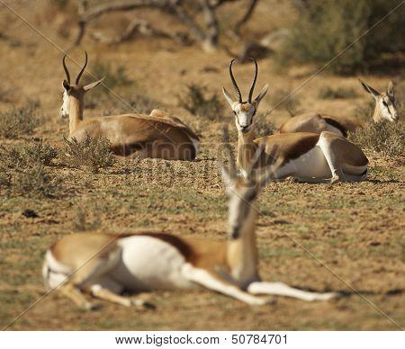 Springbok lying in sun