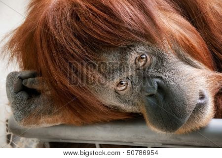 Beautiful Orangutan Looking Into The Camera
