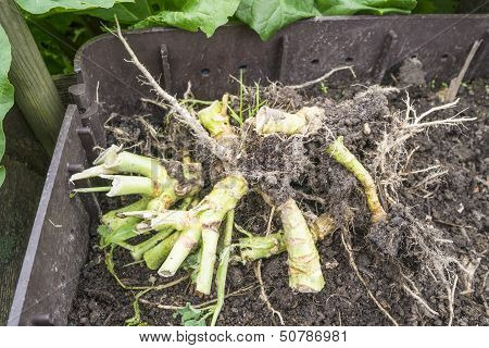 Cabbage Rhizome