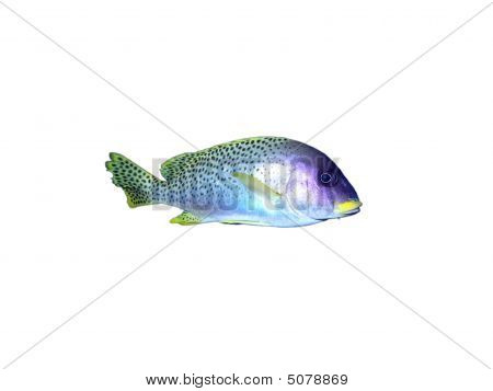 Black-spotted Grunt Fish On A White