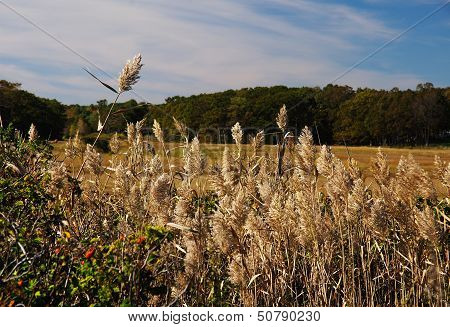 Tall Feathery Grasses