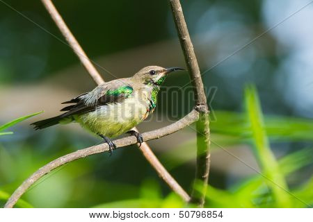 Young Male Beautiful Sunbird