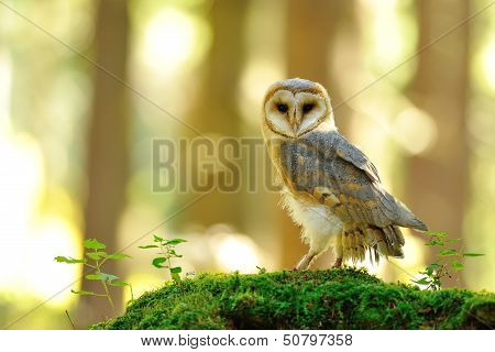 Barn Owl Standing On The Moss