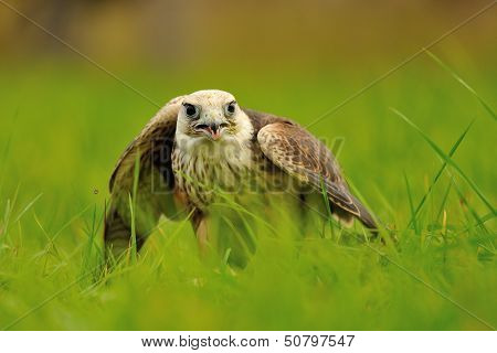 Closeup Lanner Falcon