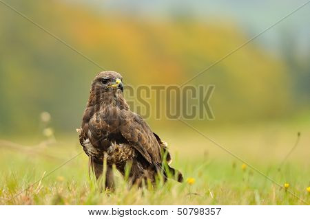 Common Buzzard On Field