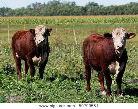 Two Hereford Bulls