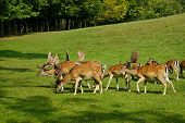 stock photo of deer family  - Group of grown male deer in a forest park safari - JPG