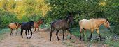 foto of choctaw  - These wild spanish mustangs are Choctaw Indian Ponies - JPG