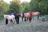 stock photo of mustang  - These wild spanish mustangs are Choctaw Indian Ponies - JPG