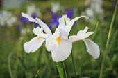 White Dutch Iris Flower Casablanca