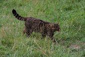 foto of wildcat  - Scottish Wildcat walking in grass on sunny day - JPG