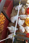 stock photo of hen house  - White chickens in hen house at farm - JPG