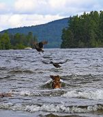 pic of moosehead  - Small dog from behind chasing two ducks out of the water at Moosehead Lake in Maine - JPG