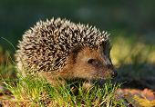 pic of wild hog  - Young hedgehog in natural habitat  - JPG