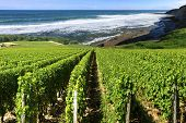 stock photo of wine-press  - vineyard by the sea surrounded by a rugged coastline in summer under a blue sky - JPG