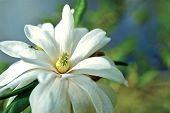 stock photo of japanese magnolia  - Japanese Native Magnolia Star  - JPG