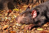 pic of taz  - Tasmanian Devil basking in the sunlight - JPG