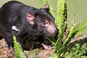foto of taz  - Tasmanian Devil - JPG
