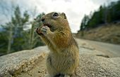 stock photo of omnivores  - Chipmunk Lunch  - JPG
