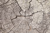 image of driftwood  - A close up view of an weathered old driftwood stump that shows the radial pattern of tree rings punctuated by a series of cracks spreading from the center - JPG