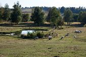 stock photo of open grazing area  - Group of sheep grazing in an open area near a small pond - JPG