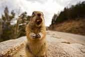 picture of chipmunks  - Chipmunk - JPG