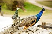 stock photo of peahen  - Peacocks  - JPG