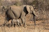 stock photo of wander  - A mother and a baby elephant wandering in the grasslands of South Africa - JPG