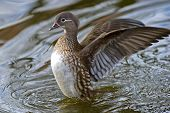 The Female Mandarin Duck (Aix Galericulata)
