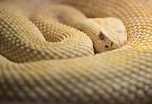 picture of western diamondback rattlesnake  - Coiled Watchful Albino Western Diamond Back Rattlesnake - JPG