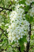 stock photo of early spring  - Flowering pear tree branch in early spring - JPG