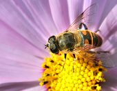 stock photo of gadfly  - Gadfly insect sitting on a flower - JPG