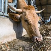 stock photo of feedlot  - Cow feeding on a farm with silage - JPG