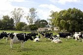 stock photo of moo-cow  - Herd of Dairy Cows on a Farm - JPG