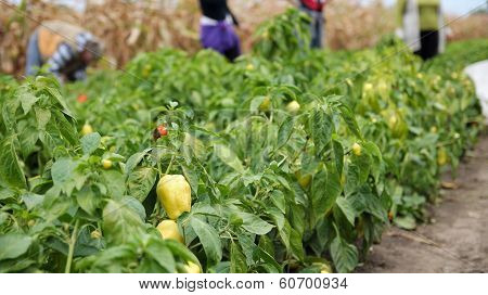 Female Workers Picking Peppers