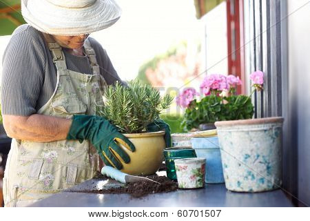 Senior Gardener Potting Young Plants In Pots