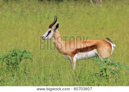 Wildlife Background - Springbok - Green Peace