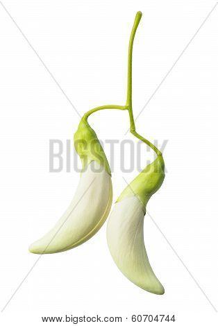 Vegetable Humming Bird