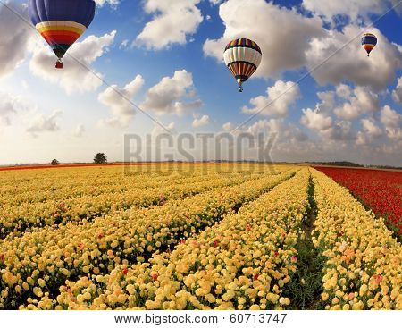 Boundless fields with blossoming pink, red and yellow buttercups. Over fields the huge multi-color balloons flies. Spring in the south