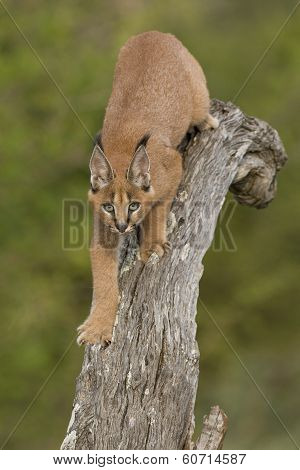 Caracal (felis Caracal) Walking Down Tree  South Africa