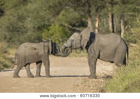 Two African Elephants (loxodonta Africana)  South Africa