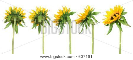 Sunflowers - Back View