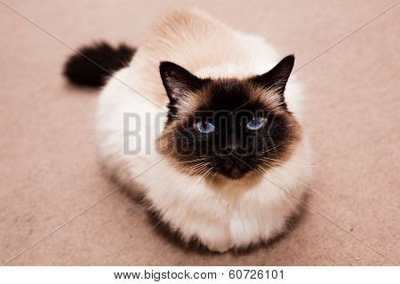 Birman Cat On The Carpet At Home